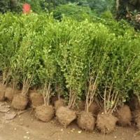 江苏绿庭园林出售瓜子黄杨工程苗,卫矛工程苗,洒金柏工程苗