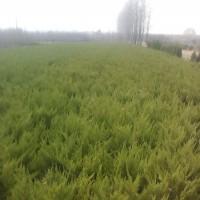 绿庭园林出售小龙柏价格批发价格,江苏小龙柏工程苗木价格