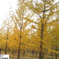 银杏叶缘变黄的原因
