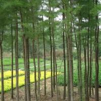 苗圃常年直销米径2~15公分优质水杉,基地直供,量大优惠