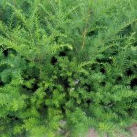 东北红豆杉苗,紫杉苗,红豆杉苗基地