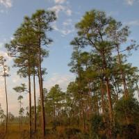 厂家直销1-4年生优质湿地松 规格齐全 价格实惠