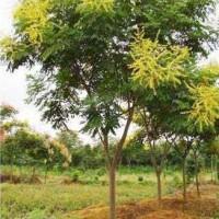成都栾树低价处理供应价格