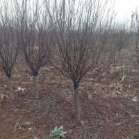 江苏绿庭园林销售榆叶梅,红花紫薇,紫叶李工程苗木价格