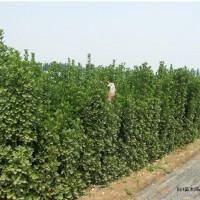 低价供应北海道黄杨  高度2.2-2.5米