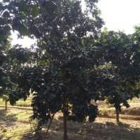 嵊州长乐香泡树出售