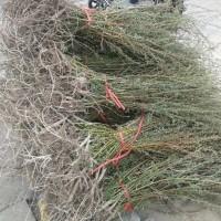 沙柳树苗出售价格 沙柳树苗多少钱 沙柳树苗哪里有卖的