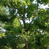 楸树价格 10公分楸树价格 11-12公分楸树上车价格