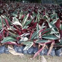 基地常年大量批发供应常青观叶植物七彩竹芋