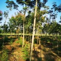 常年供应各种规格红榉、国槐、栾树及海棠