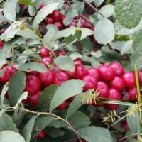 农大钙果树苗多少钱一棵?农大钙果树苗?农大钙果树苗多少钱一棵