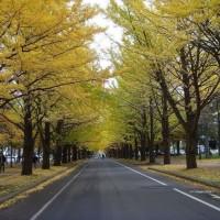好景园林一站式供应米径2~40公分的银杏树,一手货源
