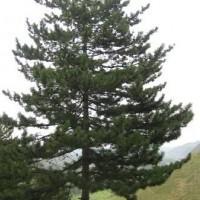 油松营养杯1.5米定植油松-7米大油松