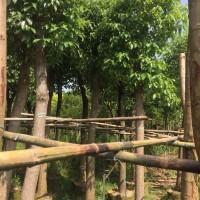 萧山苗木场多规格供应土球好精品乔木香樟