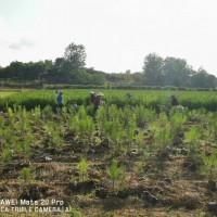 江西赣州湿地松苗供应-随州希望苗圃
