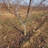 占地赔偿树苗,占地用什么果树好苹果苗,核桃树,枣树,梨树桃树