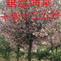 江苏绿庭园林销售垂丝海棠价格,紫叶李价格,紫薇树价格