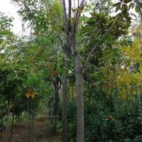 8公分栾树多少钱 10-11公分栾树产地价格