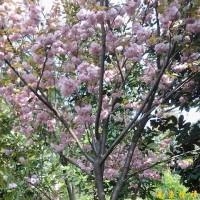 供应南京樱花等多种绿化苗木