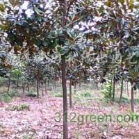 江苏绿庭园林销售:广玉兰,朴树,美国红枫等苗木