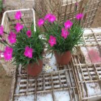 欧石竹种植基地价格 会开花草坪常年绿 耐旱抗踩 绿化工程花卉