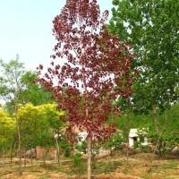 苗圃直销优质红叶杨,米径2~12公分左右规格齐全,货源充足