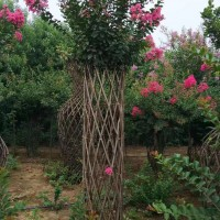 紫薇花柱造型园艺设计 紫薇柱子编织模具 紫薇绿化行道树