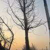 长期供应1—60公分银杏树,美国红枫,樱花,法桐,及各种果树