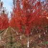 长期供应美国红枫,银杏树,法桐,樱花及各种果树