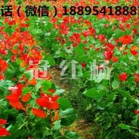 景观绿化必种的彩叶树种冠红杨