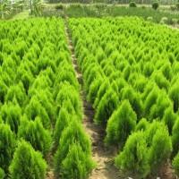 江苏绿庭园林销售洒金柏,红叶小檗,小龙柏工程苗木