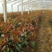 小苗种子种苗公司,绿化小苗货源,青州小苗培育地