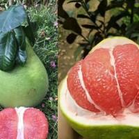 江西泰国青柚苗批发,泰国红宝石青柚如何栽培