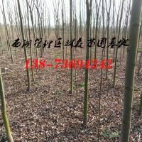 栾树基地批发|4公分-5公分-8公分栾树价格