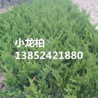 苗圃自产30公分小龙柏价格-40公分小龙柏-50公分小龙柏