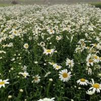 宿根花卉特点,宿根花卉种植方法,宿根系列种苗种子
