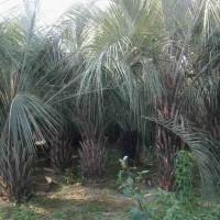 长期特价供应布迪椰子
