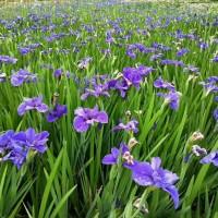 水生植物卖家,水生花卉买卖,园林水生植物厂家