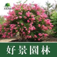 基地常年直销2-15公分粗优质百日红紫薇