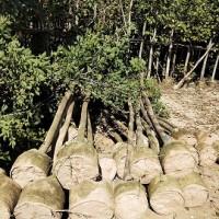 自产自销园林工程绿化风景树黄花风铃木 规格齐全