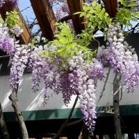 苗圃直销高2-9米、地径3-12公分左右的紫藤苗,规格齐全