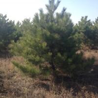 出售大规格原生态造型油松,占地油松