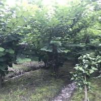 四川优质丛生紫荆,地径8-10高2.5米冠2米