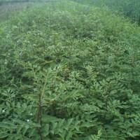 红油香椿苗