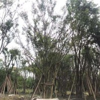 四川精品25-40优质丛生朴树