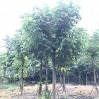 四川精品优质米20公分栾树