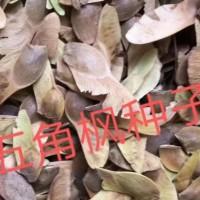 常年供应五角枫种子   最新价格表  量大从优