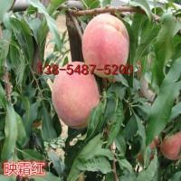 3公分桃树苗价格、4公分5公分桃树苗报价