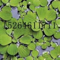 水生植物价格最低价,水生植物价格报价,水生植物报价