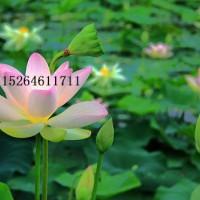 水生植物供应,水生植物大量供应,水生植物销售供应